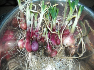 Garden 2009 Picked and Clipped Onions