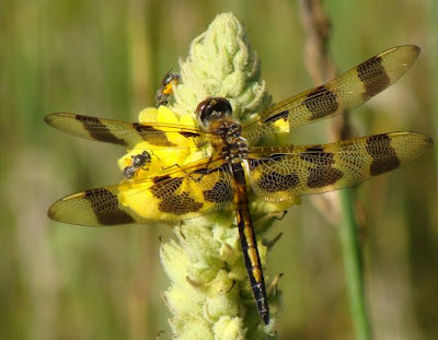 Dragonfly and blue orchard mason bees on a mullein flower