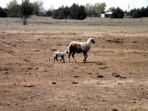 new ram-a-lamb