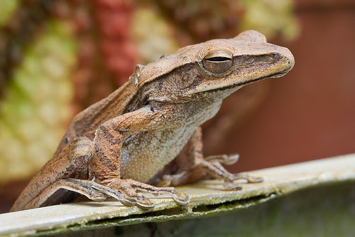 <i>Polypedates leucomystax</i>, four lined/common tree frog IMG_8617 copy