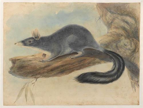 Brush-tailed marsupial mouse (Phascogale penicillata) - Gerard Krefft c. 1860 (slnsw)