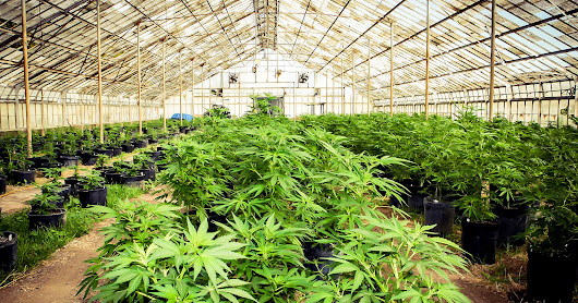Nobody Knows What to Do About Pesticides in Legal Marijuana