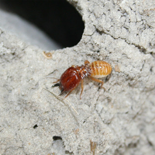 Some female termites can reproduce without males