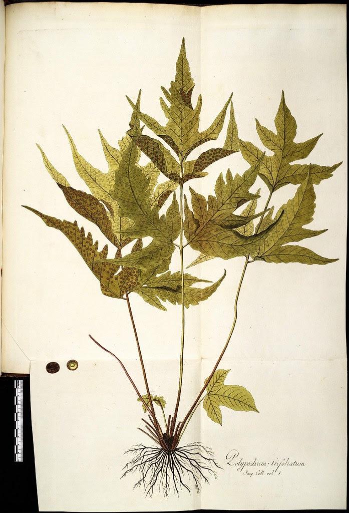 Polyplodium trifoliatum