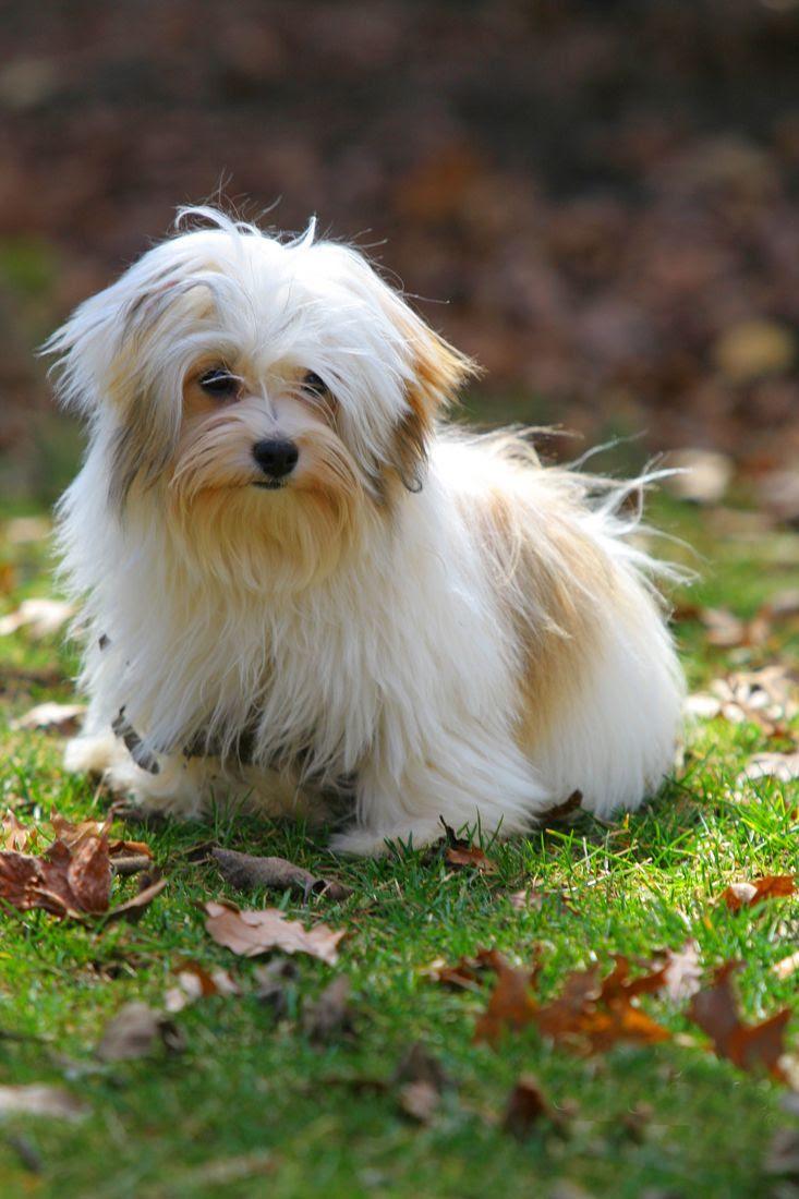 AKC Havanese Puppies Champion Sired Family puppy Kentucky Kentucky