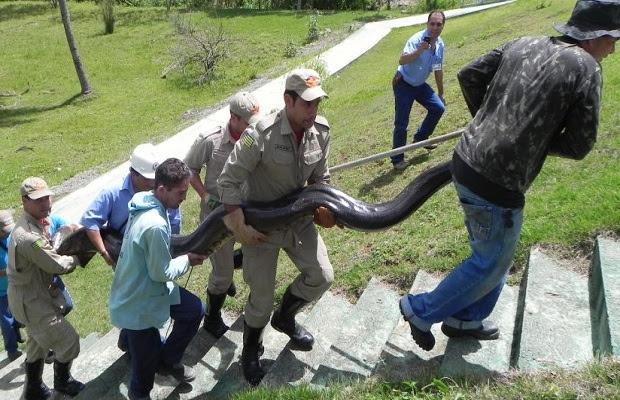 Sucuri é transportada pelos bombeiros com a ajuda dos trabalhadores. (Foto: Assessoria de Imprensa / CBMGO)
