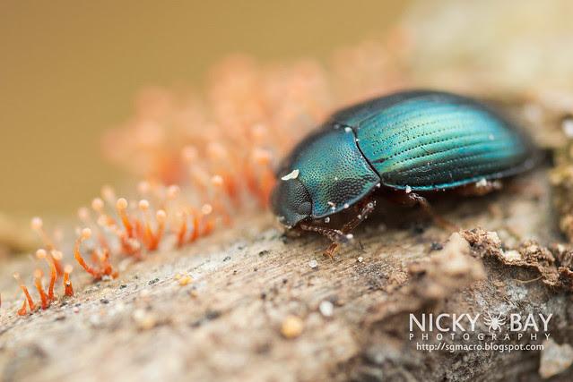 Darkling Beetle (Platydema sp.) - DSC_1680