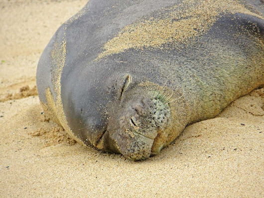 Another black mark against domestic cats: They're killing Hawaii's rare monk seals