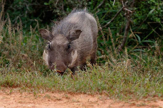 Just a great #PhotoOfTheDay [OC] #MarkdeScande #Warthog #AddoElephantNationalPark