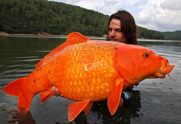What a whopper! Angler Raphael Biagini got the surprise of his life when he landed this gigantic koi carp on a fishing trip to France. At 30lb it's thought to be the largest of its kind ever caught in the wild