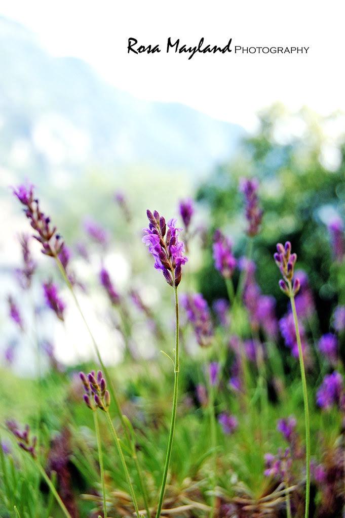 Lavender 1 3 bis