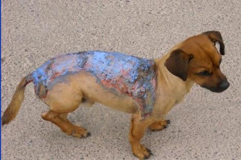Perro con quemaduras rociado con líquido inflamable. ELMUNDO.es