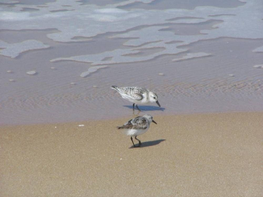 http://upload.wikimedia.org/wikipedia/commons/d/dc/Calidris_albaZZ.jpg