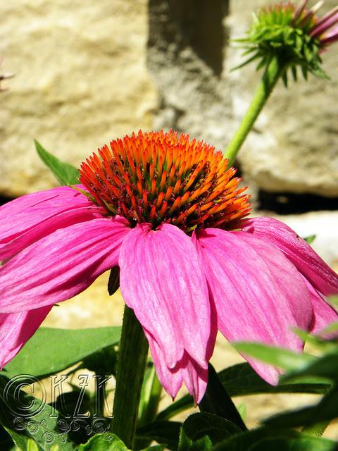 DSCN4361 PowWow Wild Berry Echinacea