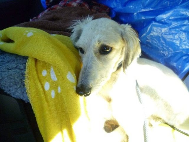 Skyla – 1-2 year old female Saluki Cross