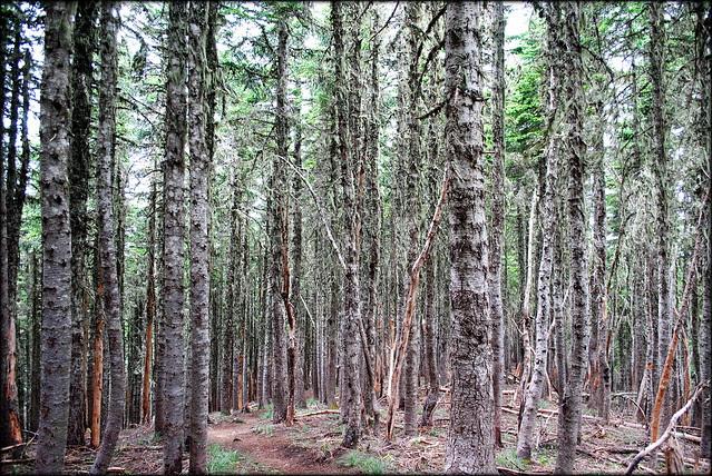 on McNeil Point trail - Mt. Hood