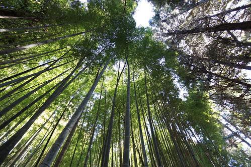Bamboo / 竹林(ちくりん)