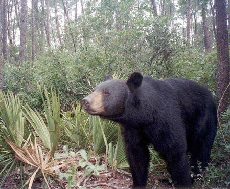 Florida_Black_BearFDOT