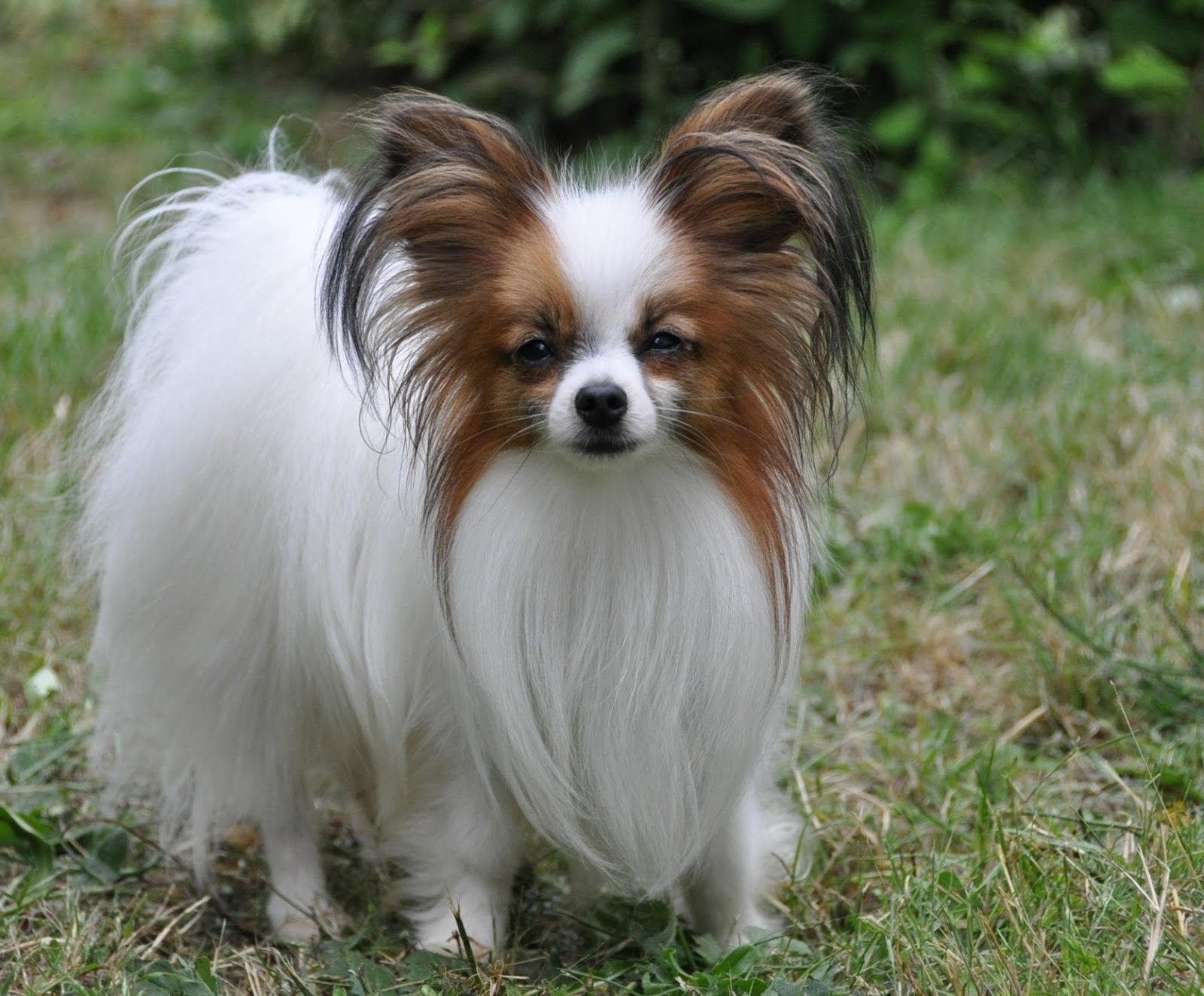 papillon-dog