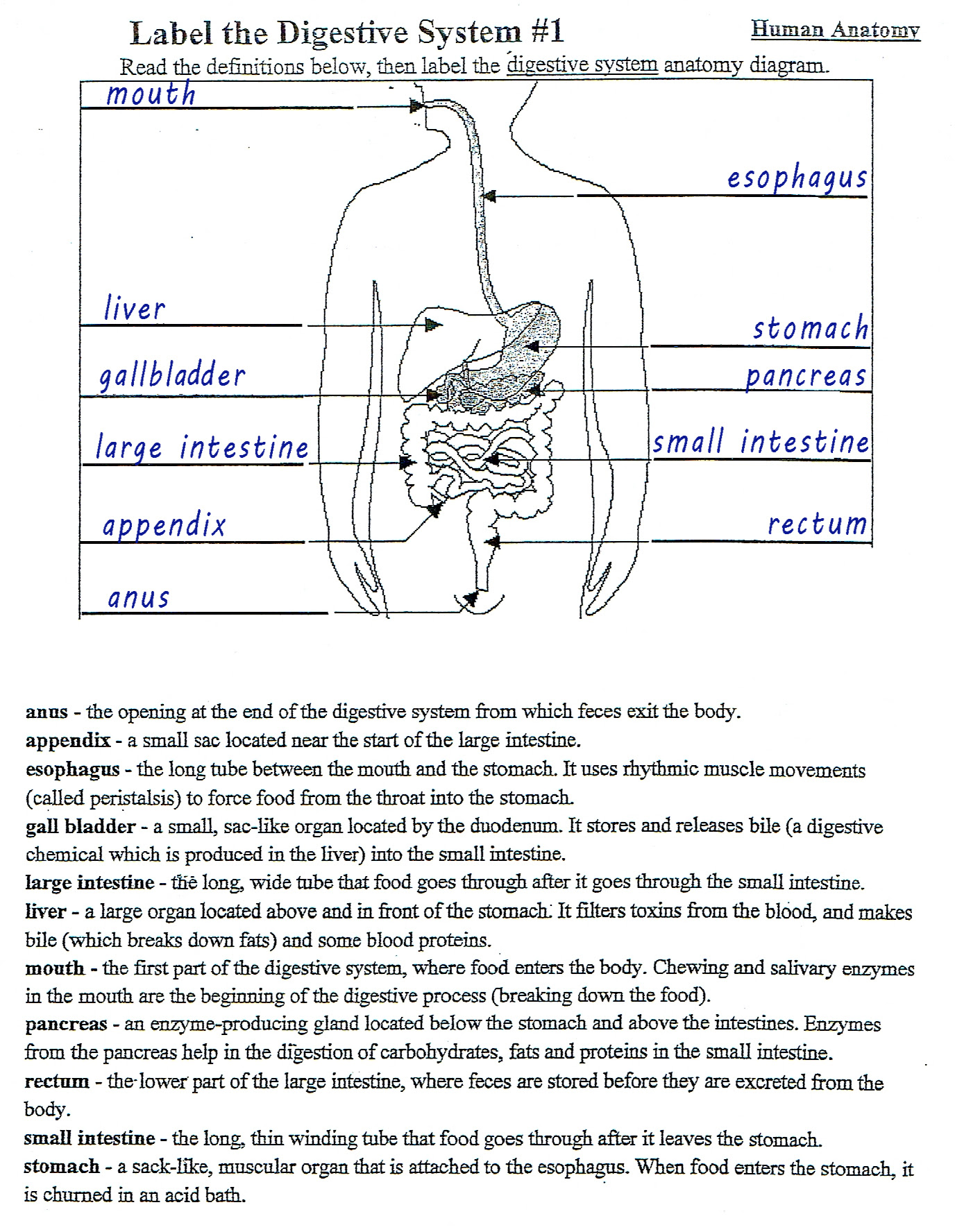 35 Digestive System Worksheet Answer Key - Notutahituq ...