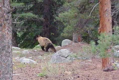 Cinnamon Bear   Rocky Mountain National Park (U.S