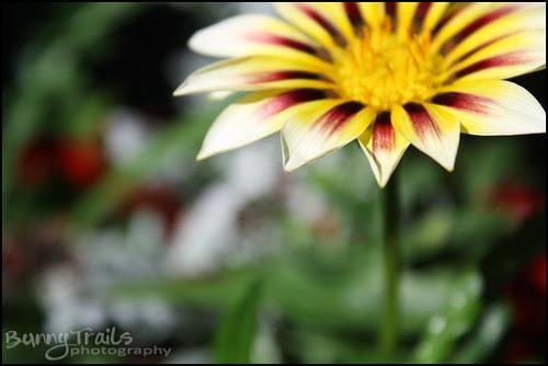 gazania - white yellow