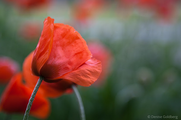 poppies in orange