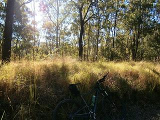 Open Eucalyptus Forest