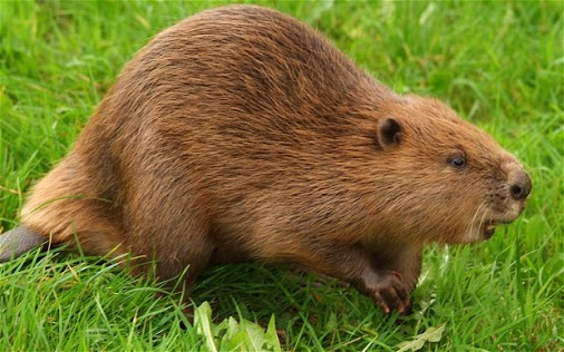 Badgers look more like beavers in getting totally pelted at the Big House. #Badgers #Wolverines