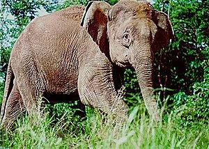 Borneo Elephant (Elephas maximus borneensis)