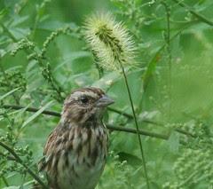 song sparrow2