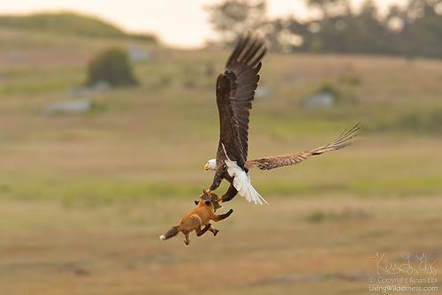 Bald Eagle and Fox Fighting Over Rabbit in Midair, San Juan Island, Washington