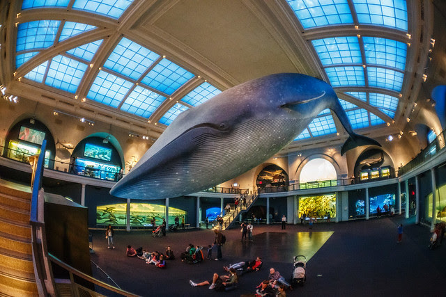 The Giant Whale at the American Museum of Natural History