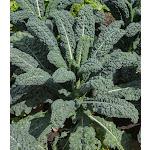 Kale Italian Lacinato Nero di Toscana