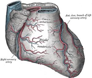 Coronary circulation