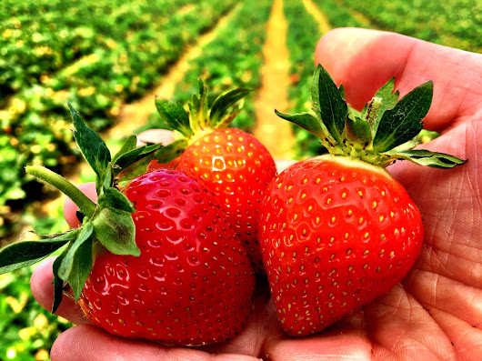 Polish Strawberry season about to start