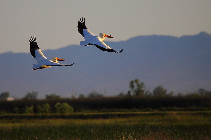 IMG_4839 American White Pelican, Sacramento NWR