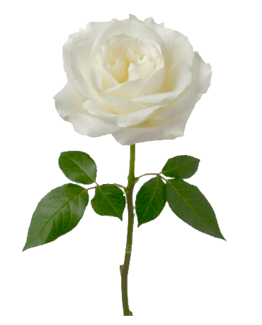 Rosa Blanca Soltera Png Transparente Stickpng