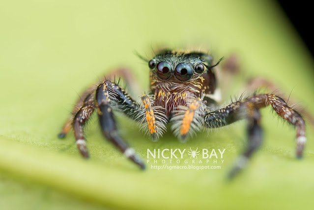 Jumping Spider (Salticidae) - DSC_0511