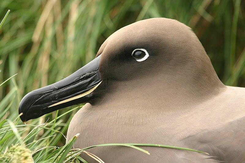 File:Albatros fuligineux.jpg