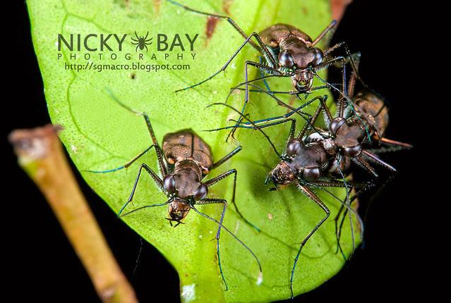 Tiger Beetles (Cicindelinae) - DSC_5214
