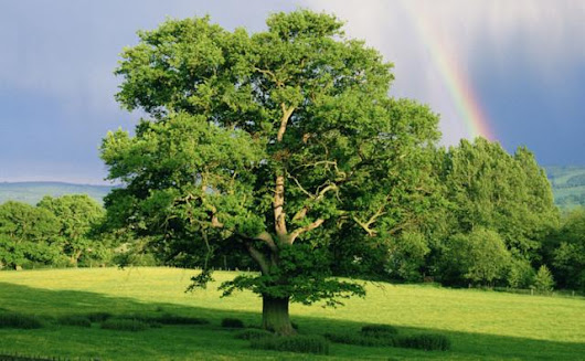 BBC Nature - English oak videos, news and facts