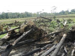 La tala de árboles era evidente en la zona de la trocha. CRH