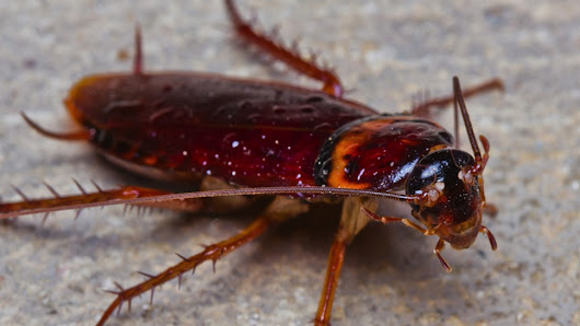 Giant Cockroach Pulled From Hospitalized Man's Ear