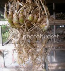 gambar rizom cekur 1