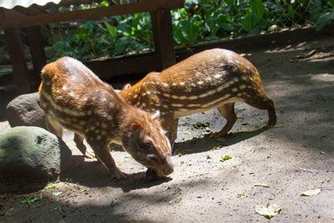Tepezcuintle Animal Related Keywords   Tepezcuintle Animal Long Tail Keywords KeywordsKing