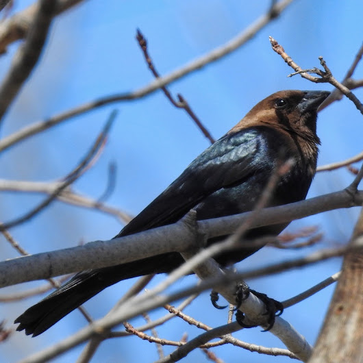 Birds of Madison, Wisconsin: Brown-headed cowbird (Molothrus ater) | SEASON OF PLENTY