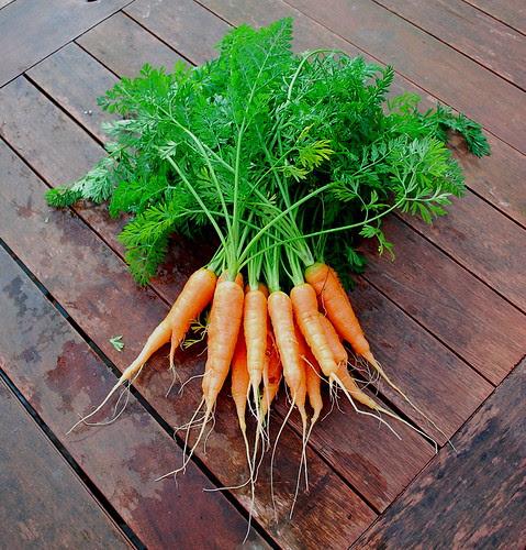 carrot harvest 3