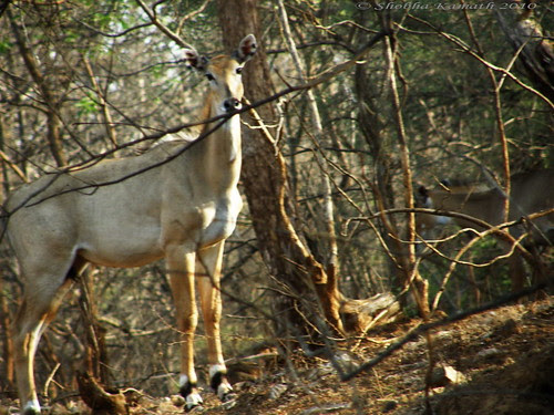 Gir Forest - nilgai
