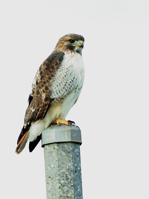 Red-tailed Hawk 2-20121104